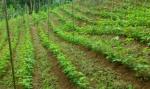 Científicos de Costa Rica crean una variedad de frijol tolerante al cambio climático