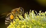 Las abejas se convierten en reinas o en obreras por el microARN de las plantas