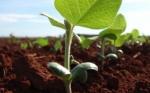 Luz verde oficial en Argentina para súper soya resistente a herbicidas, por edición genómica