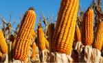 En Argentina la cosecha de maíz está a punto de finalizar con una producción de 39 millones de toneladas