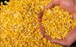Proyectan para el 2020 salida al mercado de primera variedad de maíz hecho genéticamente en Chile