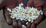 Los retrasos en la aprobación de cultivos biotecnológicos en África están amplificando la malnutrición