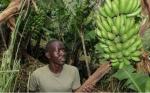 Los ensayos de campo en Kenia ponen al país más cerca de los plátanos OGM