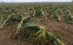 La agricultura de Puerto Rico, diezmada por María