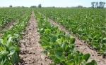 Soya, el grano menos afectado por el Cambio Climático y que hasta mejoró su rinde