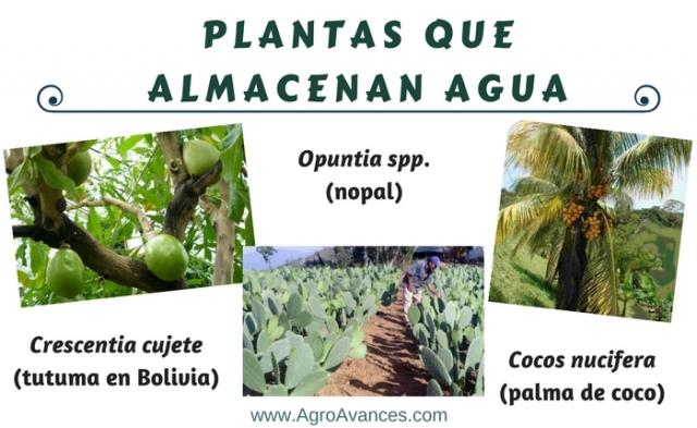 Plantas almacenadores de agua
