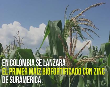 Nuevo maíz biofortificado con zinc: un maíz muy sano