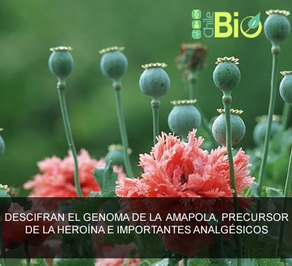 Descifran el genoma de la amapola, fuente de la heroína e importantes analgésicos
