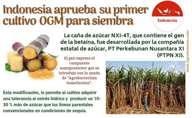 Indonesia comercializará pronto su primer cultivo OGM