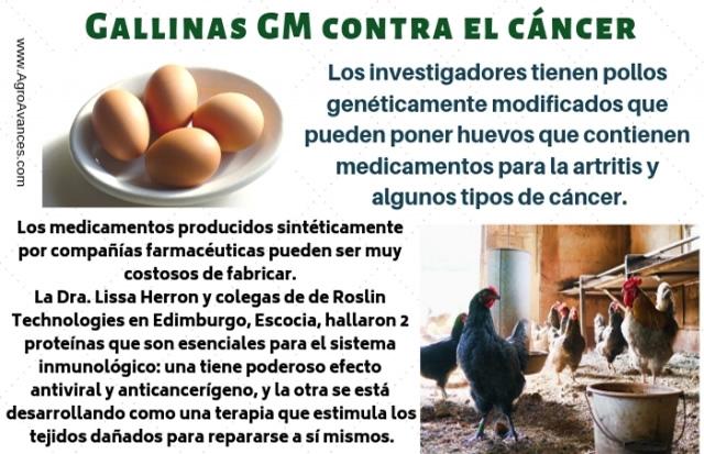 Gallinas GM que ponen huevos con medicamento contra el cáncer
