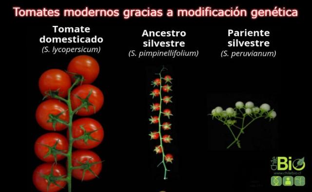 Tomates modernos gracias a la modificación genética
